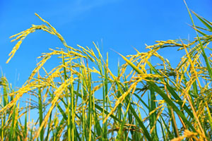 Gerstengras kann auch bei einer veganen Ernährung als Energielieferant eingesetzt werden.